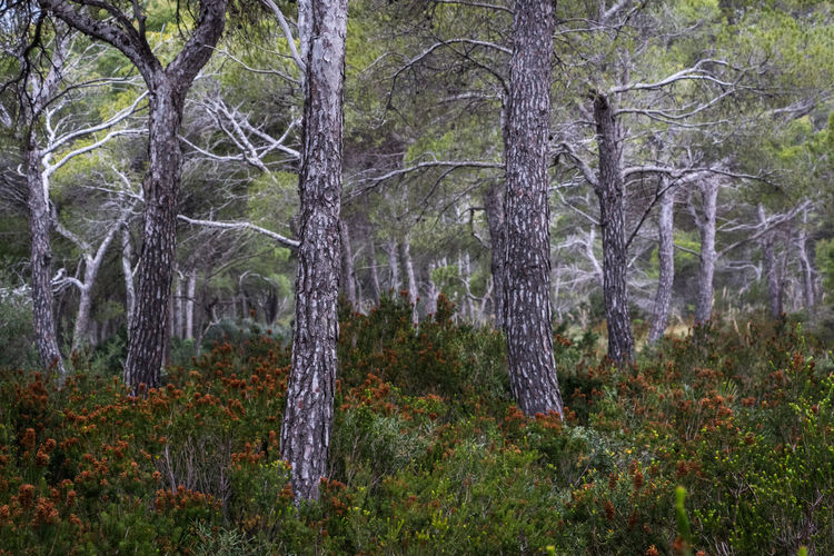 Pine trees Forest Tree Plant Land WoodLand Tree Trunk Trunk Nature No People Tranquility Landscape Day Environment Outdoors Non-urban Scene Beauty In Nature Scenics - Nature Growth Tranquil Scene Green Color Pine Woodland