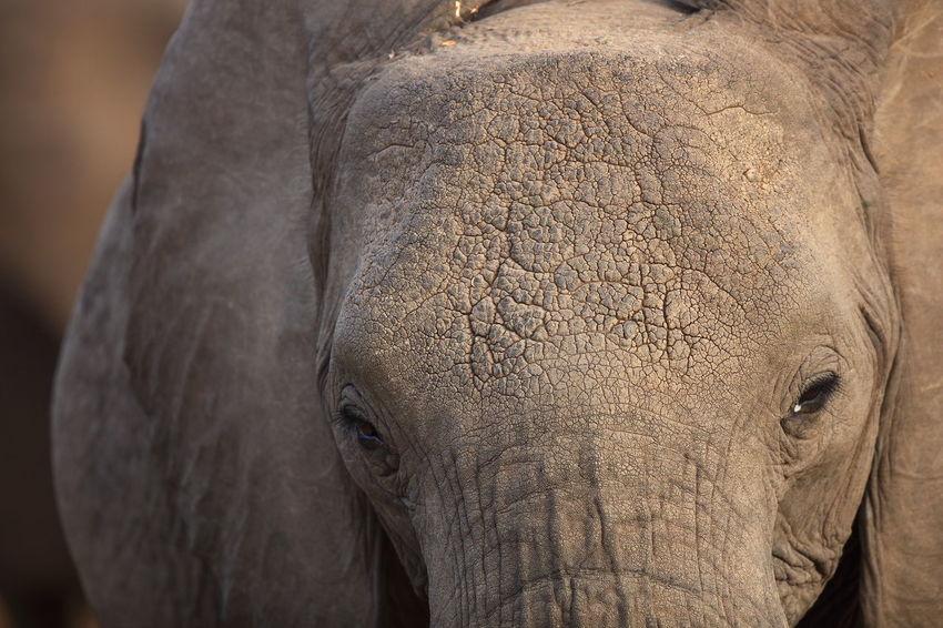 Maasai Mara, Kenya Africa African Elephant Animal Body Part Animal Themes Animal Wildlife Animals In The Wild Elephant Eye In Eye Kenya Looking In Your Eyes Maasai Mara Mammal National Parks Kenya One Animal Safari Animals Tusk Wildlife