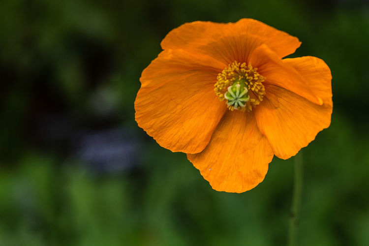 P. rupifragum is a clump-forming perennial with lobed leaves up to 15cm long. In summer it produces solitary, bowl-shaped, light orange, single to semi-double flowers up to 8cm across. May self-seed and can be short-lived. https://www.rhs.org.uk/Plants/12242/Papaver-rupifragum/Details Beauty In Nature Blooming Close-up Flower Flower Head Orange Color Papaver Rupifragum Petal