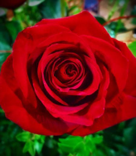 Vday Flower Flowering Plant Plant Close-up Vulnerability  Rosé