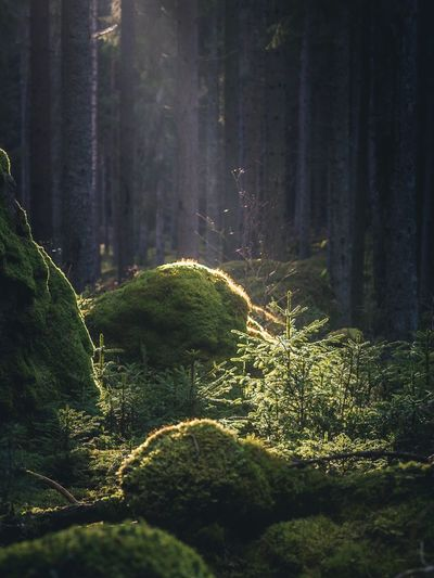 A WAY TOO EARLY SPRING   Forest Outdoors Nature Nature_collection Hiking Tree Spruce Beauty In Nature Sunlight Sunlight And Shadow Outdoor Photography Nature Tree WoodLand Spooky Growth No People Close-up Day