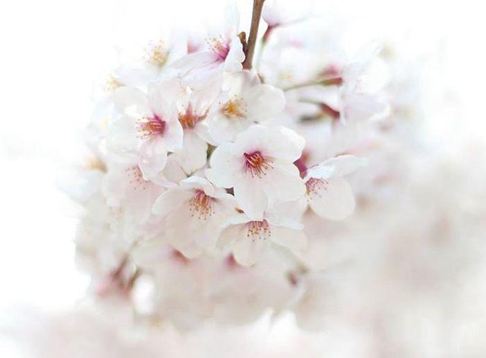 桜 Cherryblossom