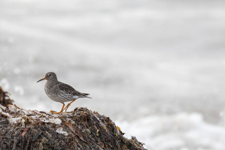 Close-up of purple sandpiper at the shore of the Norwegian Sea Copy Space Norwegian Sea Purple Sandpiper Standing Winter Animal Themes Animal Wildlife Animals In The Wild Arctic Beauty In Nature Bird Close-up Day Focus On Foreground Lofoten And Vesteral Islands Nature One Animal Outdoors Perching Rock - Object Sandpiper Sea Selective Focus Side View Water