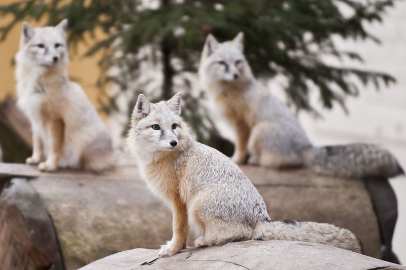 Three foxes Foxes Nature Animal Animal Family Animal Themes Animal Wildlife Animals In The Wild Fox No People Pets Portrait Three White Fox This Is Family