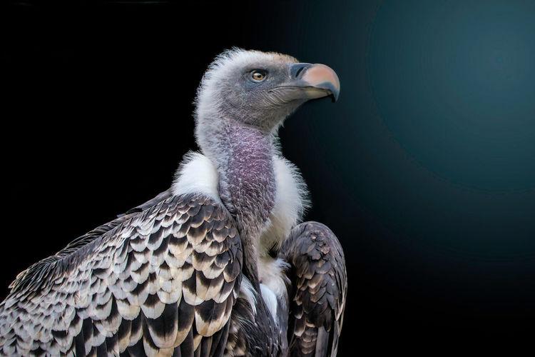 Close-up of vulture against black background