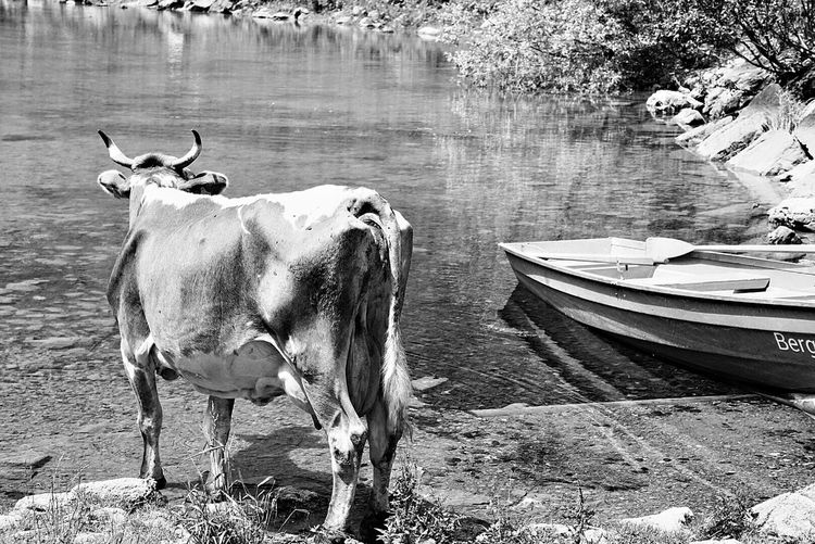 Cows standing by lake