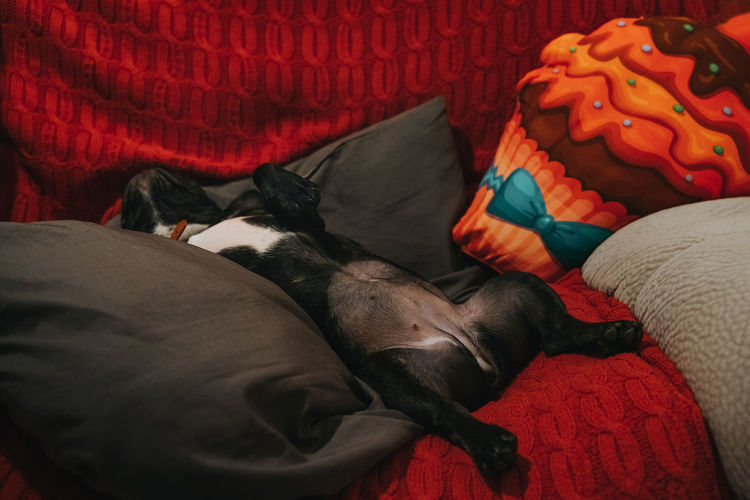 No shame at all. After Surgery Pillows Frenchie French Bulldog Frenchbulldog Sleeping Dog Sleeping  Sleeping Dog Domestic Animals Dog Pets Red Multi Colored Close-up Pet Bed At Home Napping