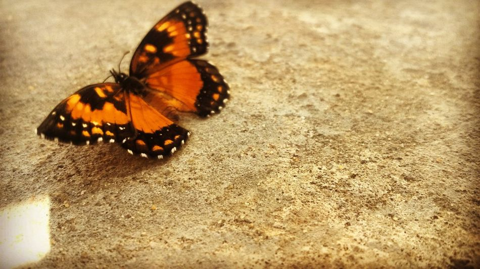 Butterfly - Insect Animal Themes Animals In The Wild Insect One Animal Butterfly Animal Wildlife No People Nature Animal Markings Close-up Butterfly Collection Butterfly Wings Outdoors Beauty In Nature Fragility Day EyeEmNewHere Cute Orange Colour