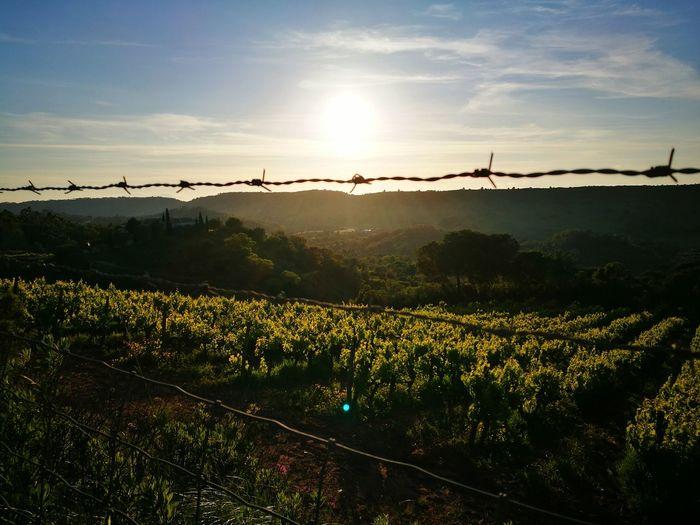 Fence against vineyard