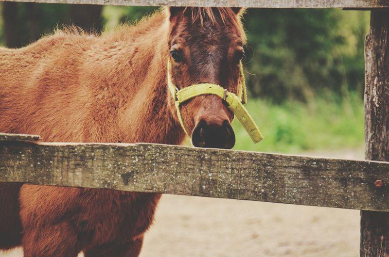 Horsey Brown