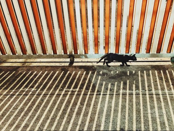 The Street Photographer - 2017 EyeEm Awards Striped One Animal Animal Themes Cat BLackCat Fence Orange Color Shadows & Lights Pattern Pets Day No People Outdoors Standing Animal Markings Corrugated Iron