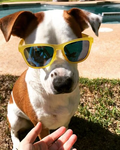 Dogs And Summer Summer Dog Sunglases Freckled Dog Floppy Ears Sunglasses And Dogs Happy Dogs Happy Dog Dog In Sunglasses Pets One Animal Canine Dog Domestic Animals Domestic Animal Themes Sunglasses Mammal Animal Glasses Fun Humor
