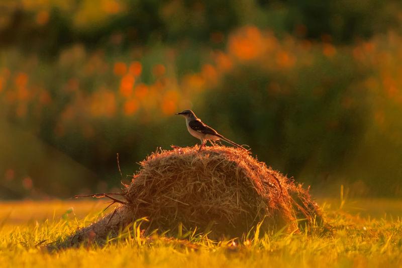 Bird perching on hay bale at sunset