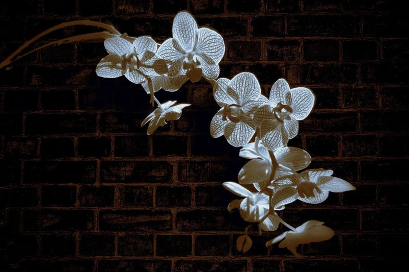 Brick Wall Phalaenopsis Black And White Darkness Single Flower Flower Flower Porn Light And Shadow Darkness And Light Simplicity Singular Single Object Nature Lovers Urban Flowers Color Palette Orchid Color Palette Moth Orchid Showcase April My Favorite Photo EyeEm Orchids Fine Art Photography Fine Art Flower Photography EyeEm Masterclass