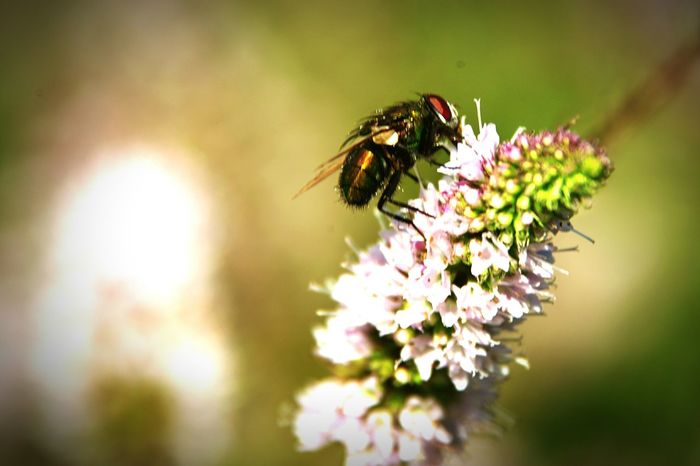 Mentha Peppermint Plant Fly Flower Perching Flower Head Insect Pollination Petal Close-up Animal Themes Plant Plant Life In Bloom Botany Blooming