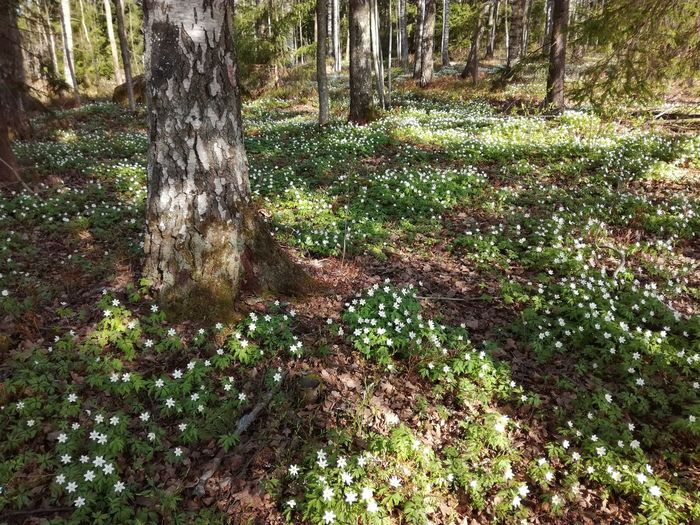 Spring in forest Wood Anemones Windflowers Forest Floor Spring Nature Springtime Spring Naturelovers Springtime Blossoms Tree Forest Sunlight Grass Blossoming  Woods