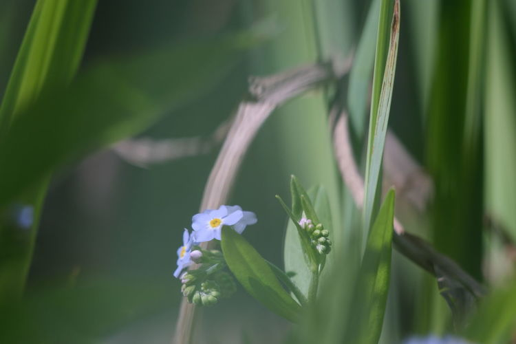 Vergiss mein nicht Beauty In Nature Selective Focus Forget Me Not Flower Head Flower Closing Rural Scene Close-up Green Color Plant Life In Bloom Petal Blooming Fragility Botany