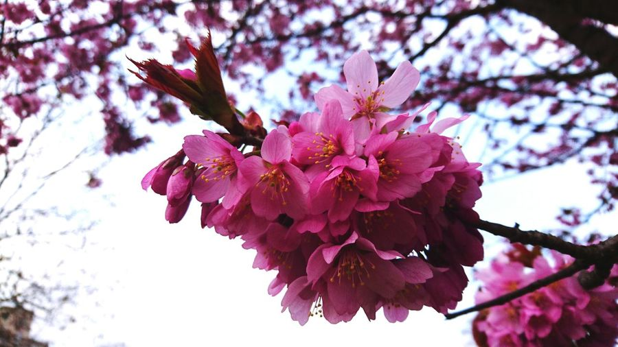 Blooming Trees Cherry Blossom Sakura Kings Garden Copenhagen Spring Pink