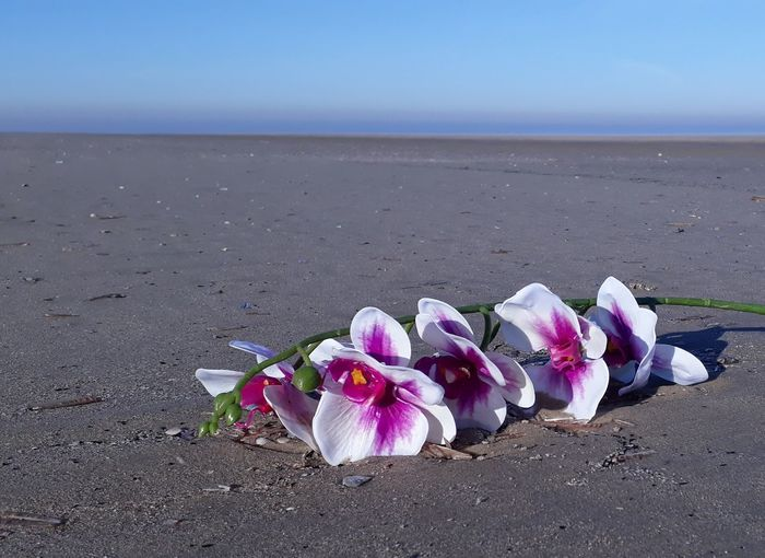 Pink flowers on beach by sea against sky