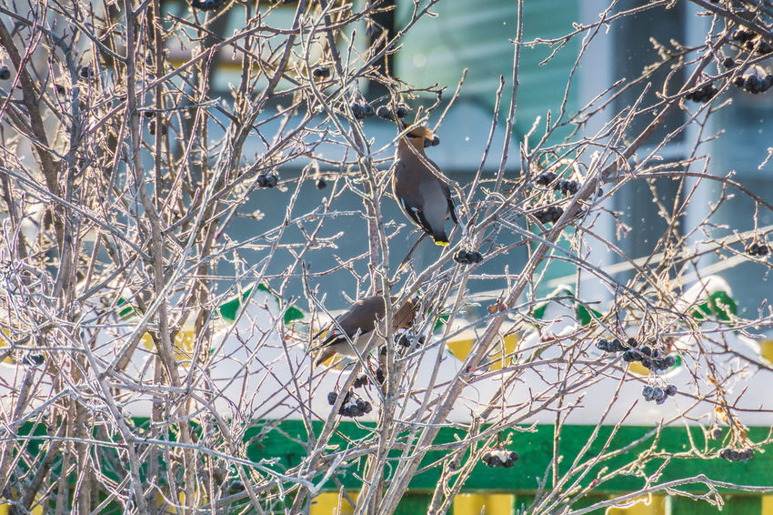 Wintertime Animal Animal Themes Animal Wildlife Animals In The Wild Bare Tree Bird Branch Day Focus On Foreground Land Nature No People One Animal Outdoors Perching Plant Tree Vertebrate Waxwing Waxwings