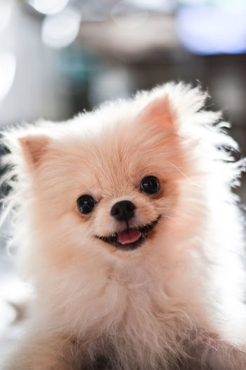 Light brown Pomeranian puppy looking to camera with smile in marble floor room in bokeh background Domestic Pets Animal Domestic Animals Mammal Animal Themes Dog Canine One Animal Vertebrate Focus On Foreground Looking At Camera Portrait Pomeranian Cute Indoors  Close-up No People Small Lap Dog Animal Head  Animal Eye Pomeranian Puppy Doggy Adorable Happy Bokeh Looking Light And Shadow Brown Fluffy Blurred Background Smile Enjoying Life