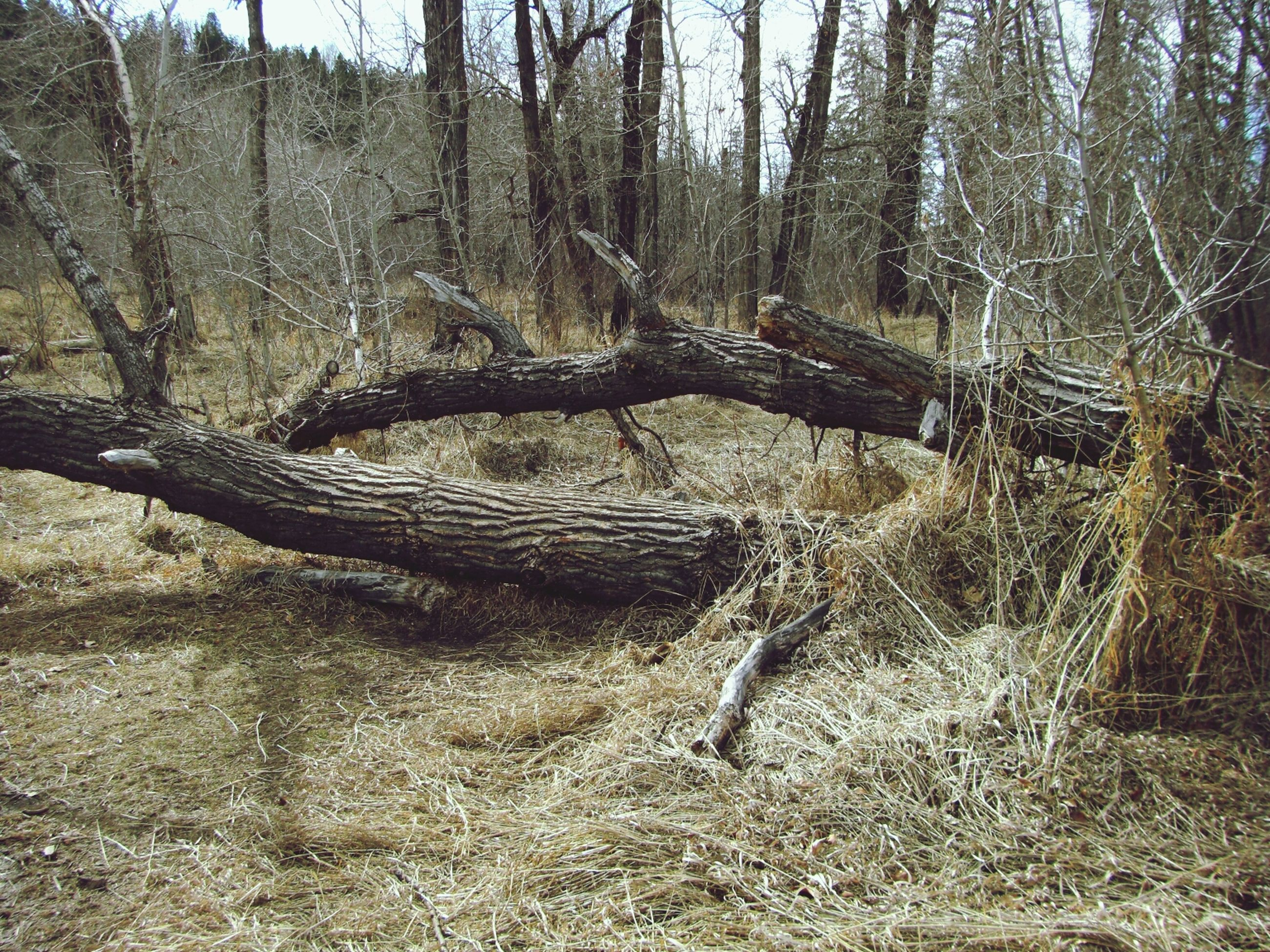 tree, forest, tranquility, tree trunk, nature, tranquil scene, landscape, beauty in nature, non-urban scene, growth, scenics, day, branch, woodland, no people, dead plant, outdoors, bare tree, plant, fallen tree