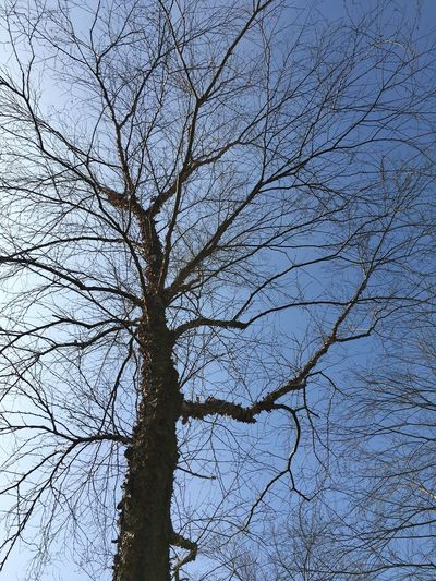Bare Tree Beauty In Nature Blue Branch Branch Of A Tree Branches Branches And Sky Clear Sky Day Dried Plant Growth High Section Low Angle View Majestic Nature No People Outdoors Scenics Sky Tranquil Scene Tranquility Tree Tree Trunk Treetop Trunk