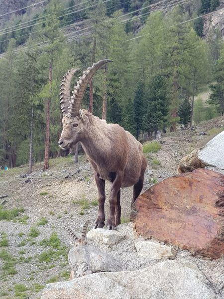 King Of The Mountain Capricorn Swiss Mountains Animal Wildlife Graubünden Pontresina Short Distance Focus Amazing View
