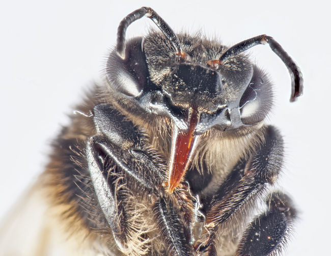 Close-up of bee over white background