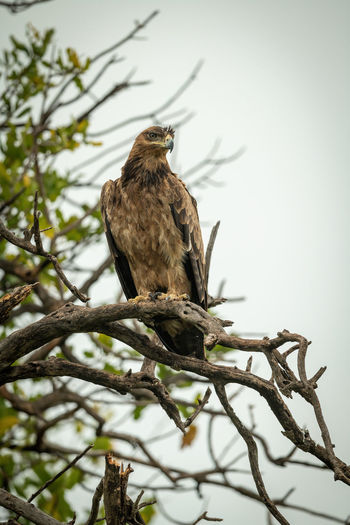 Tawny eagle on twisted branch tilting head