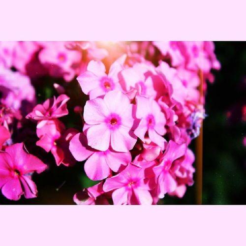 Лето было, лето будет. фотоизлета воспоминания  цветы розовый