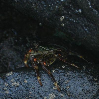 Pondy crab....