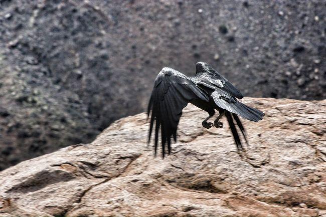 Flying Black Crow Flying Black Bird Black Bird Crow Flight Flying Crow Black Crow Freedom Liberty Fresh On Eyeem