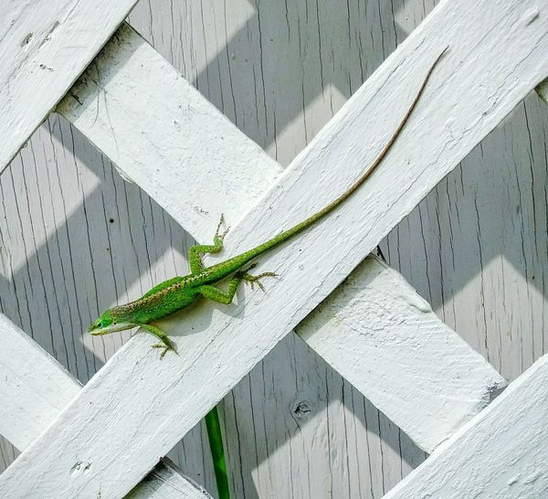 Lizards Green & White Sunbathing Crisscross Reptile Animal Wildlife Outdoors first eyeem photo Animals In The Wild Nature Leapin Lizard Florida Wildlife Green Florida Landscape Leaping Lizards Green Machine The City Light The Secret Spaces Selected For Premium Lizard Of Oz The Great Outdoors - 2017 EyeEm Awards Florida EyeEm Ready