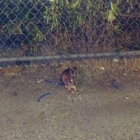 Bunnie Rabbit I Fed himchicken workSangabrielValleyCalifornia Godscreatures