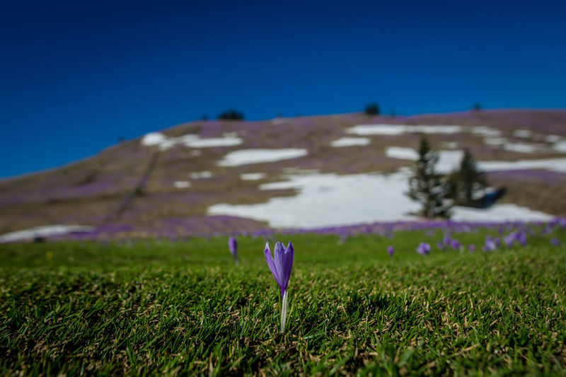 Beauty In Nature Blue Clear Sky Crocus Day Environment Field Flower Flower Head Flowering Plant Fragility Freshness Growth Land Landscape Nature No People Outdoors Plant Purple Sky Tranquility Vulnerability