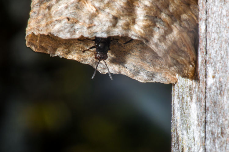 A black wasp looking out of a hive. Animal Antenna Bee Black Close-up Closeup Colombia Dangerous Destination Hive Huila  Insect Macro Nature Nest Outdoors Pest San Agustín South America Textured  Tourism Travel Wasp Wild Wildlife