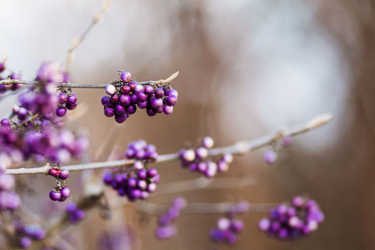 Close-up of purple berries growing on plant