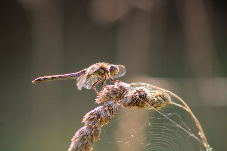 Close-up of dragonfly on web