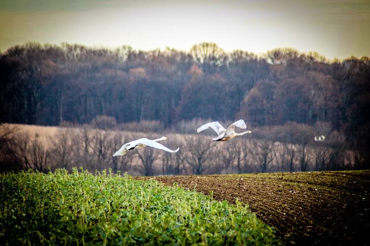 Animal Wildlife Animals In The Wild Beauty In Nature Bird Flying Nature Outdoors Schwan Im Flug Schwäne