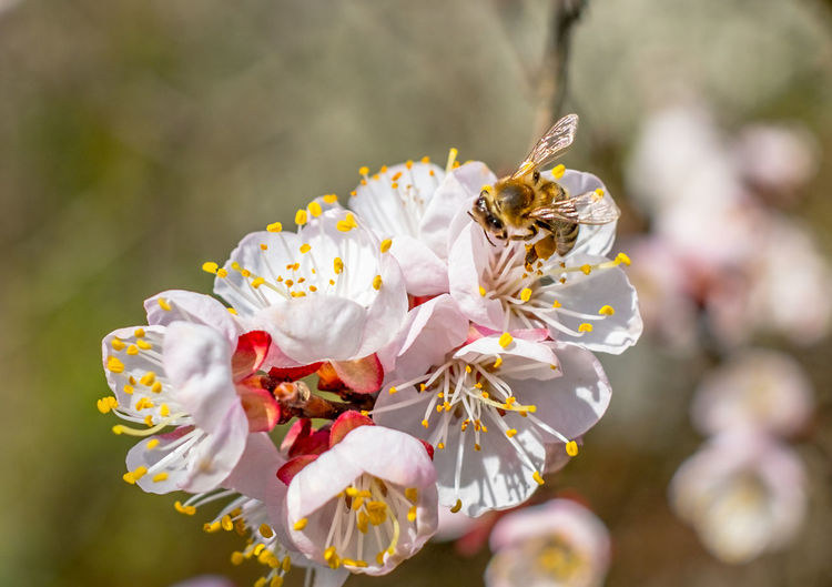 Bee at work on a apricot blossom during spring Apricot Tree Apricot Flowers Spring Has Arrived Animal Themes Animals In The Wild Beauty In Nature Bee Bee And Flower Bee On The Flower Blooming Blossom Close-up Day Flower Flower Head Focus On Foreground Fragility Freshness Growth Insect Nature No People One Animal Outdoors Petal Plant Pollen Spring Flowers Springtime Stamen Tree White Color
