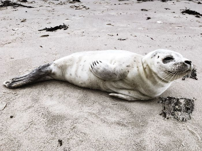Seal Lazy Dog Lazy Smile Germany Sylt List, Sylt Ocean Nature Beach Seerobben Robbe Sand One Animal Beach Seal - Animal Animals In The Wild Animal Themes Animal Wildlife Sea Lion Outdoors Sea Life Sea Close-up EyeEmNewHere
