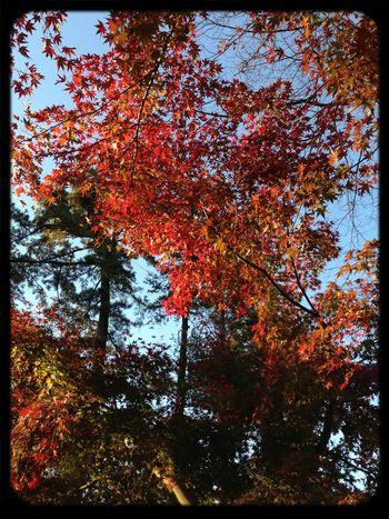 お寺の紅葉だよ。地元のだよ。