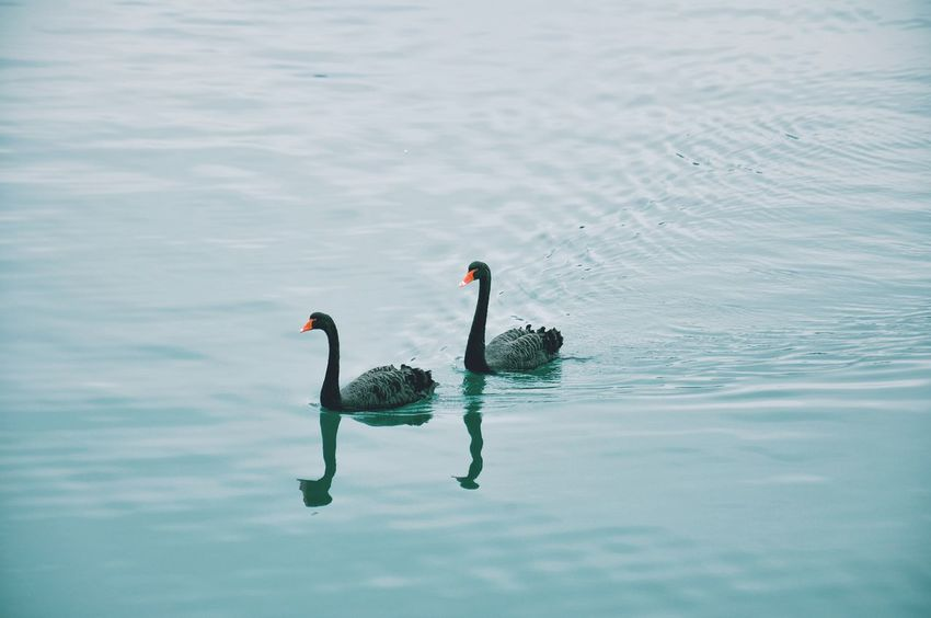 Swans in the sea / Cisnes en el mar. Swans Sea Black Couple Tourquise Simplicity Animals Water Reflection Animals In The Wild Swimming Beauty In Nature Black Swan Cisnes Mar Cisnes Negros Pareja Turquesa Sencillo Animales Perspectives On Nature Colour Your Horizn Visual Creativity