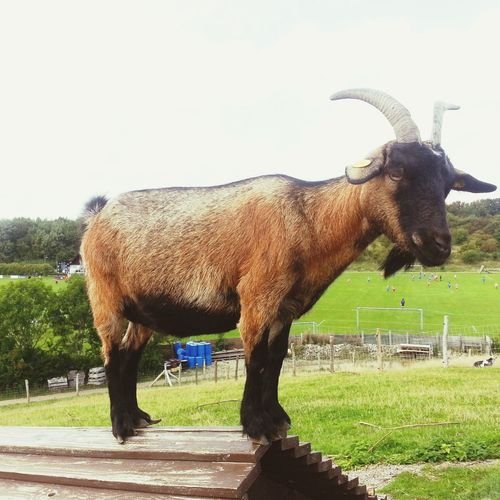 Goat On Roof Hanging Out Having Fun Hello World Relaxing Lost In The Landscape