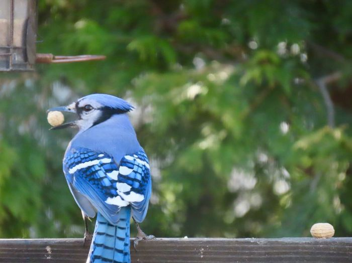 Blue jay with a peanut in his beak perched on a wooden railing closeup rear view focus on the foreground outdoors birdwatching birds of EyeEm Bird Animal Themes One Animal Beauty In Nature No People