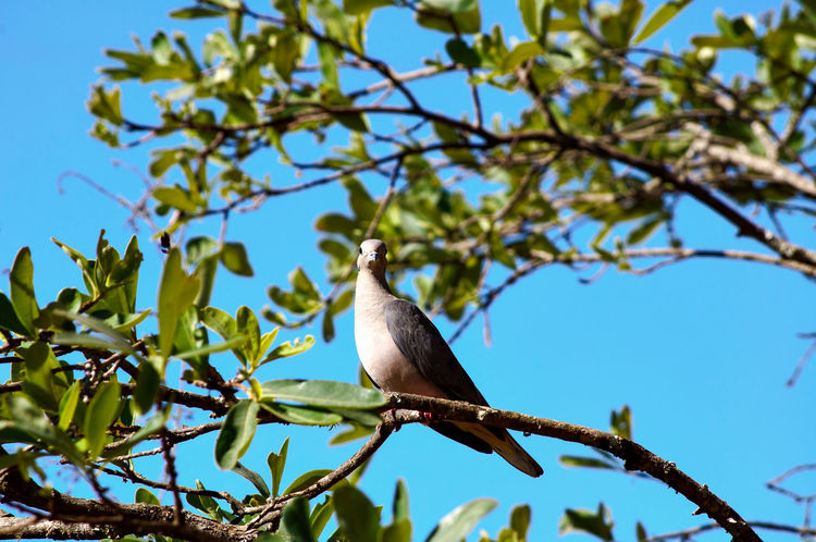 Bird Photography Nature Photography Animal Animal Themes Animal Wildlife Animals In The Wild Ave Beauty In Nature Bird Borda Da Mata Branch Day Dove Focus On Foreground Growth Low Angle View Nature No People One Animal Outdoors Perching Pomba Pomba Rola Tree