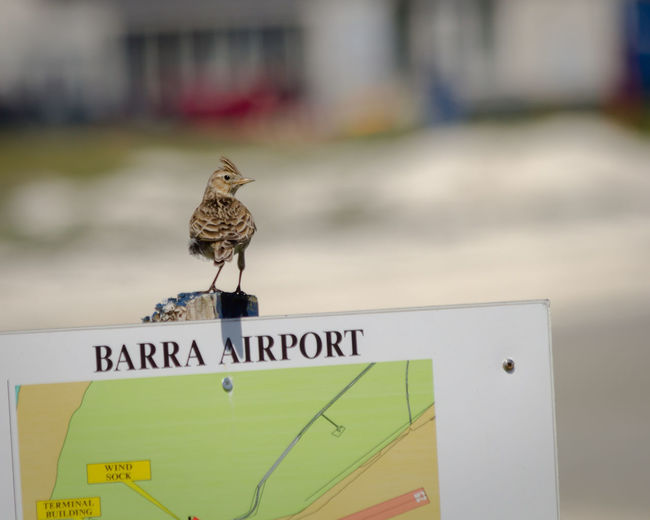 Barra Airport Barra Airport Skylark  Bird Sign Bird On Sign Beach Island Nature Outdoors Scotland