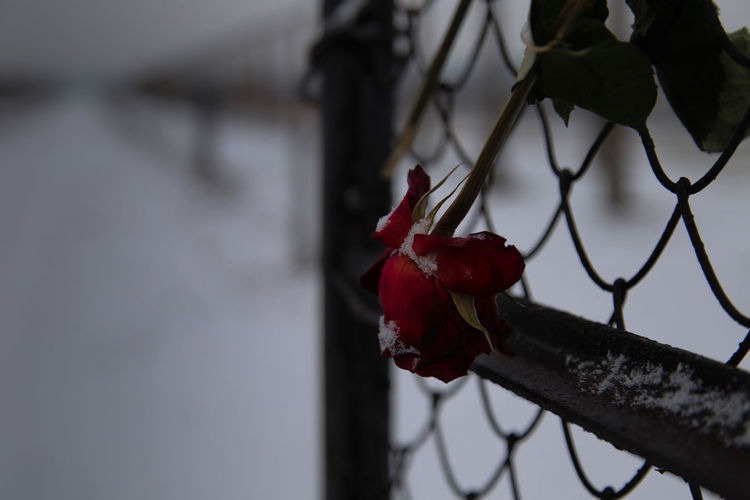 Close-up of red rose on fence