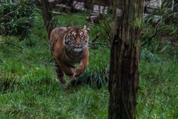 Animal Wildlife Animal Themes Animals In The Wild Animal One Animal Mammal Animals Zoo Zoology Zoo Animals  Zoophotography ZOO-PHOTO Tiger Tigers Tiger-love Big Cat Big Cats Big Cat Tiger Photo Cat Beauty In Nature Endangered Species Nature Day No People